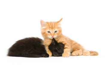 Two kittens play play with each other.