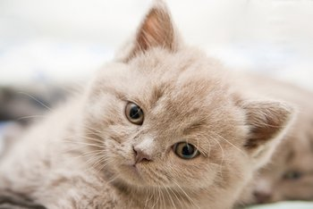 A kitten with cat insurance looks at the camera.