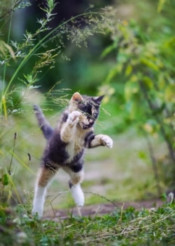 A kitten with Pets Best pet insurance, leaps in the air, ready to ambush its owner's ankles.
