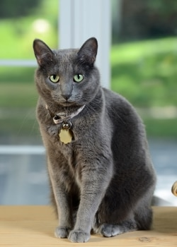 A Korat cat with pet insurance from Pets Best.