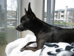 La La the Chihuahua watch dog looks out the window.