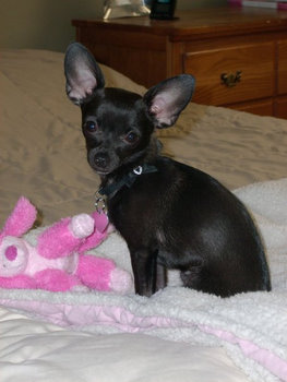 La La the Chihuahua sits on the bed waiting for her owner to return home from work.