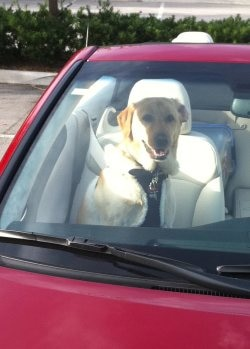 A lab cruises around in her owners convertible.