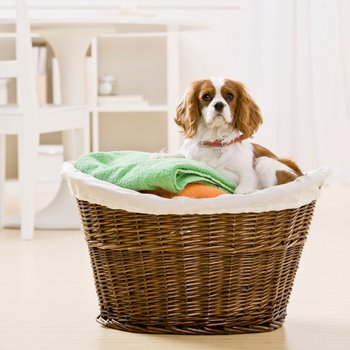 A dog with dog insurance helps with the laundry.