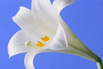An Easter Lily, which can be bad for pet health, is beautiful but can be deadly to cats.