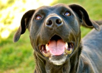 a black dog sits outside the Meridian Valley Humane Society and is very happy.
