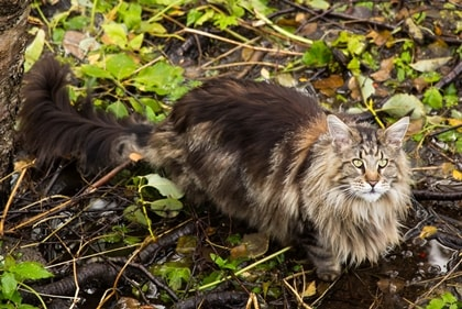 A Maine Coon cat with pet insurance from Pets Best.