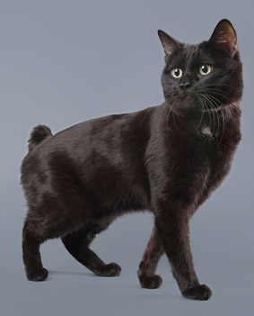 A Manx cat with pet insurance from Pets Best.