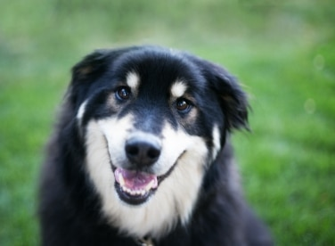 Mixed breed dog, Koda has been protected by Pets Best since 2009.