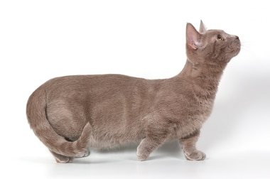 A Munchkin cat with pet insurance from Pets Best.