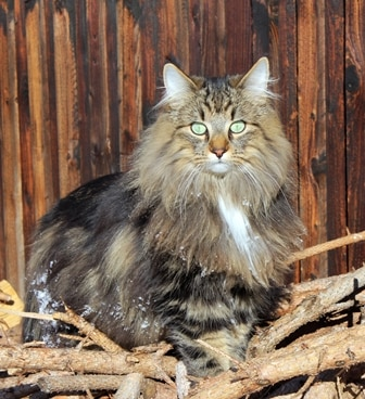 A Norwegian Forest cat with pet insurance from Pets Best.