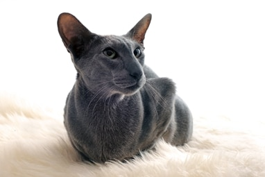 An Oriental Shorthair cat with pet insurance from Pets Best.
