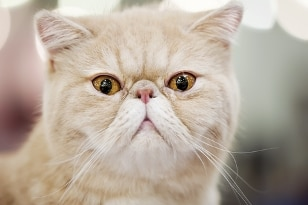 A Persian cat with pet insurance from Pets Best.