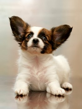 A puppy with pet insurance perks up his big ears.