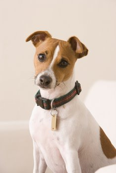 A dog with pet insurance wears an ID tag.