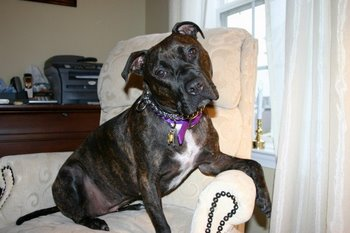 A Pit Bull with pet insurance looks at the camera.