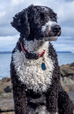 A Portuguese Water Dog with pet insurance from Pets Best.