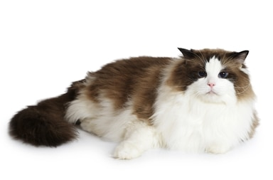 A Ragdoll cat with pet insurance from Pets Best.