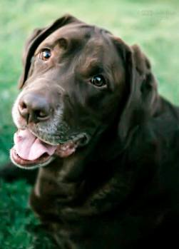 A chocolate labrador.