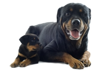 A rottweiler puppy and its mom laying together.