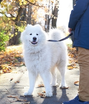 A Samoyed dog with pet insurance from Pets Best.