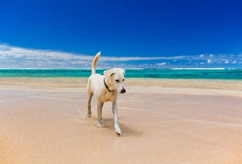 A dog with pet insurance runs on the beach.