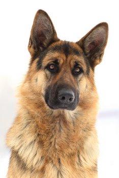 A service dog waits for a command.