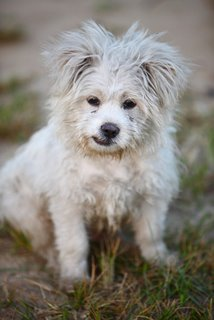 A dirty, white puppy sits in the grass.