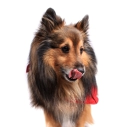 A sheltie dog insured with Pets Best ate bread dough.