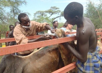 Two people provide veterinary care to a cow on a veterinary mission in Sudan, Africa in 2011.