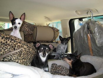Four little dogs sit in the back of a car on animal print pillows.