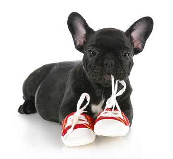 A puppy chews on a shoe.