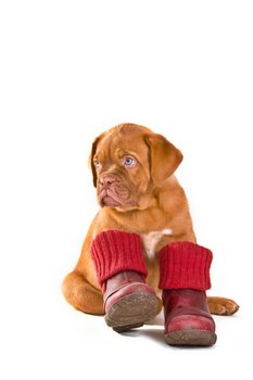 A puppy keeps his paws warm by wearing boots.