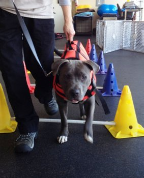 A dog named Purdy learns to walk again during rehab therapy.