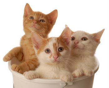 Three kittens with pet health insurance sit in a basket.