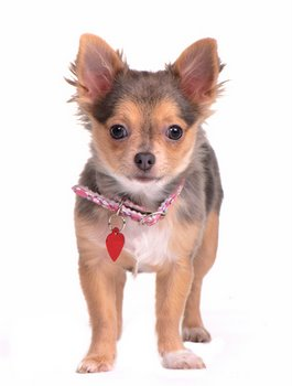 A Chihuahua with pet insurance wears a pet ID tag.