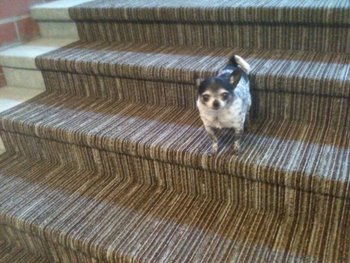Torrey the Chihuahua gets a workout on the steps