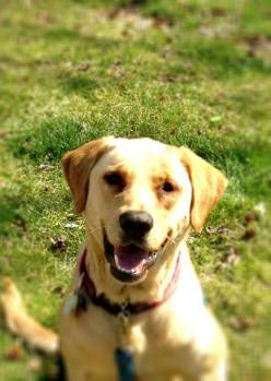 a yellow lab.