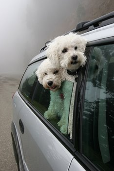 Two dogs stick their heads out the car window.