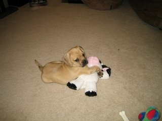 Turbo the Puggle puppy plays on the floor.