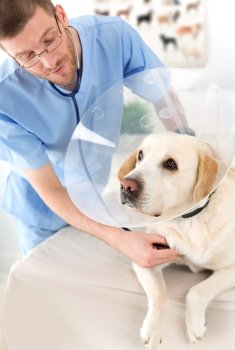 A veterinarian runs a checkup on a sick labrador retriever.