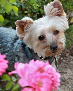 Sookie, a Yorkshire Terrier dog insured with Pets Best since 2010 poses by a flower.