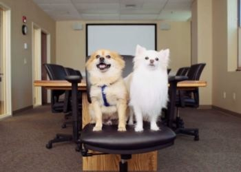 Office dogs of Pets Best Pet Insurance, Ziggy and Maddie share a conference room chair.