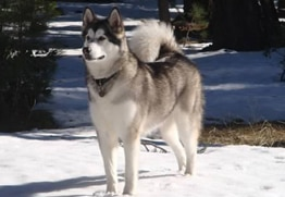 Keiko has the best dog insurance for Alaskan Malamutes.