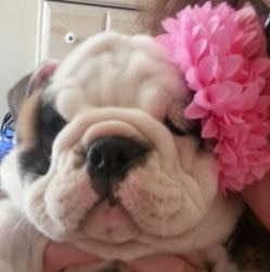 A baby bulldog with a pink flower on her ear is insured by Pets Best Insurance.