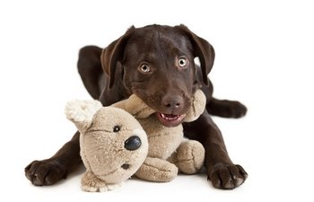 A puppy with pet insurance chews a toy.
