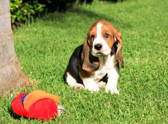 basset hounds are prone to ear infections.