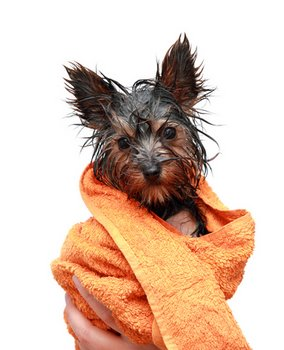 A puppy with dog insurance plays dries off after a bath.