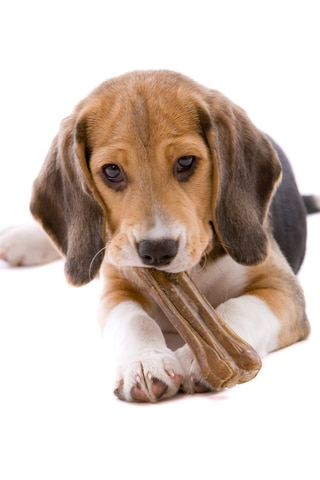 A small puppy with dog insurance chews on a bone.