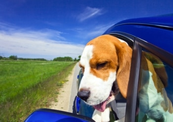 Picture of a traveling dog in car from pet insurance provider Pets Best Insurance.